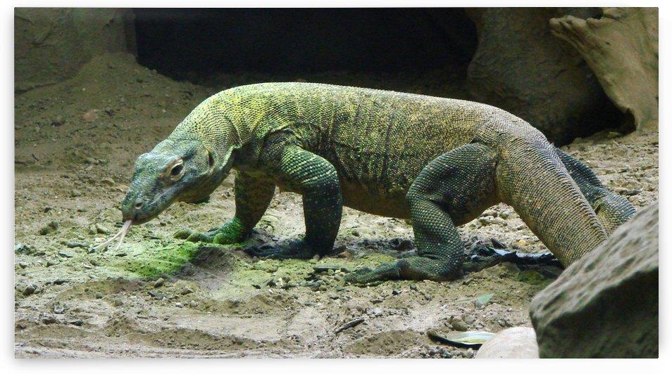 komodo dragon komodo lizard reptile by Shamudy