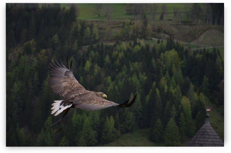 adler bird bird of prey raptor by Shamudy