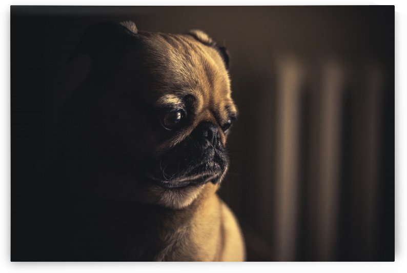 dog pug puppy pet animal canine by Shamudy