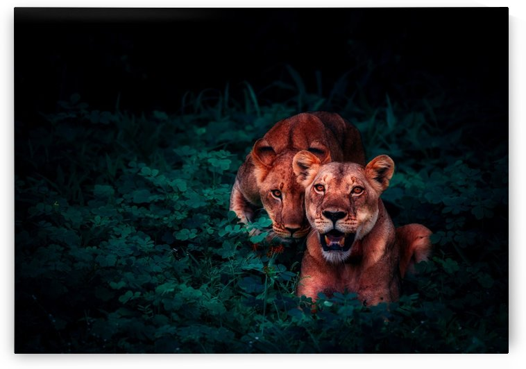 lions cubs pair jungle nature by Shamudy