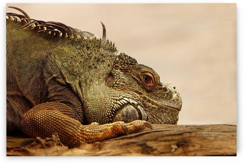 animal reptile lizard iguana by Shamudy