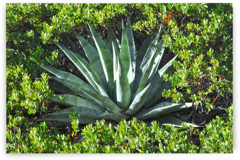 Agave by Sherry Jones