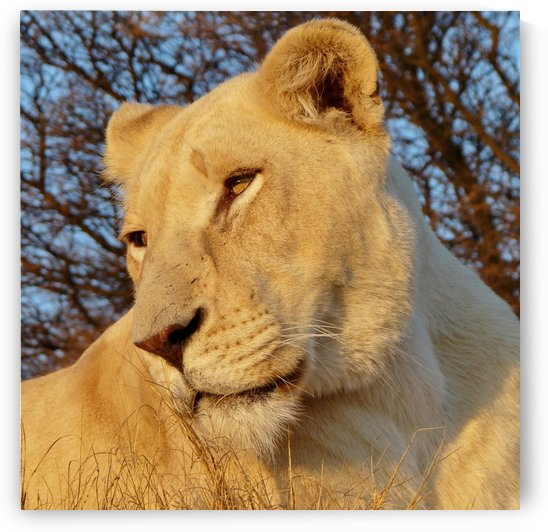 White Lioness Sunset 593 by Thula-Photography