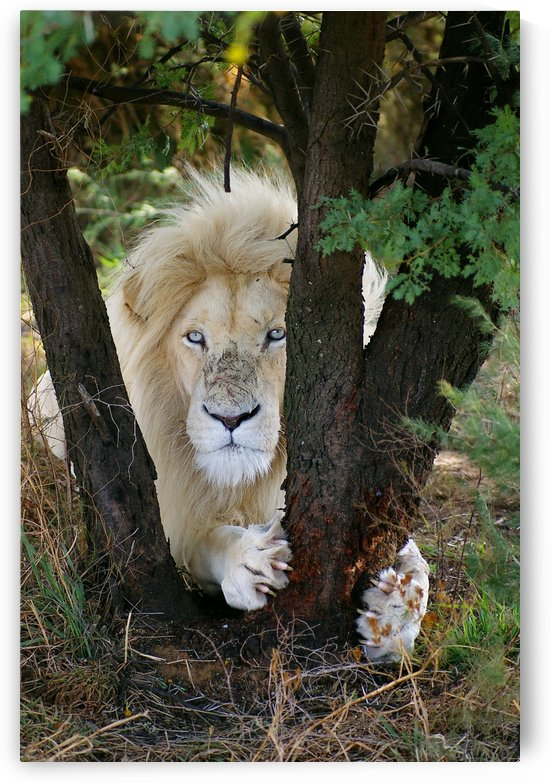 White Lion Male by Thula-Photography