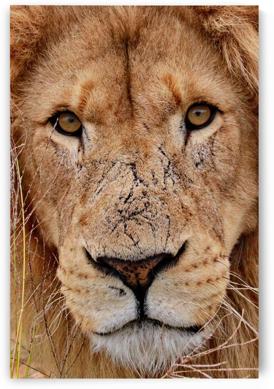 Lion Face color by Thula-Photography