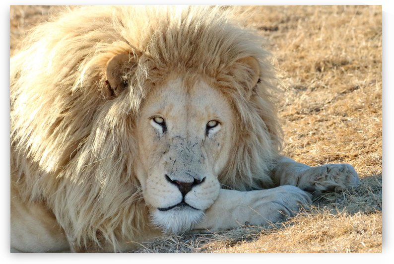 White Lion Portrait 913 by Thula-Photography