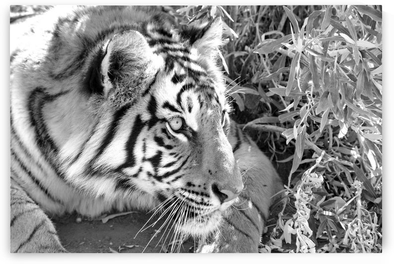 Tiger 1389 b+w by Thula-Photography