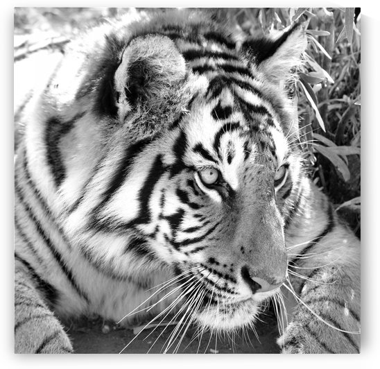 Tiger 1388 b+w by Thula-Photography