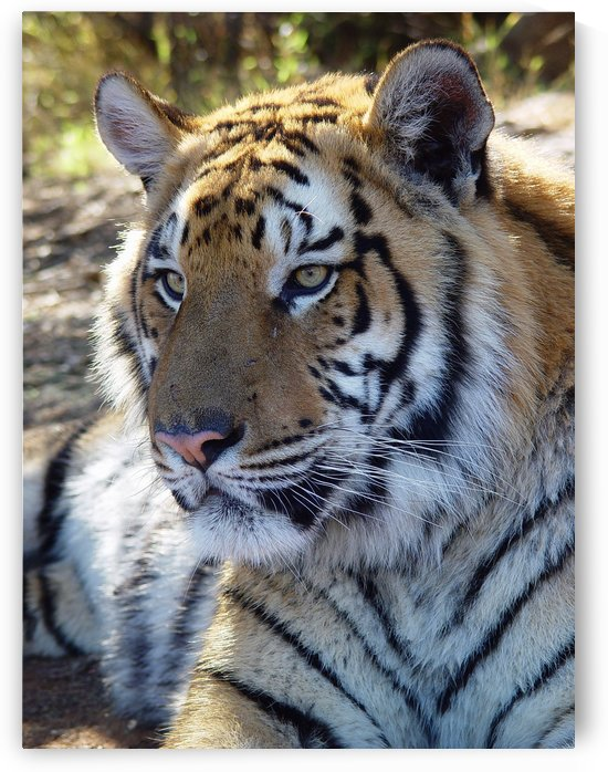 Tiger Portrait 2651 by Thula-Photography