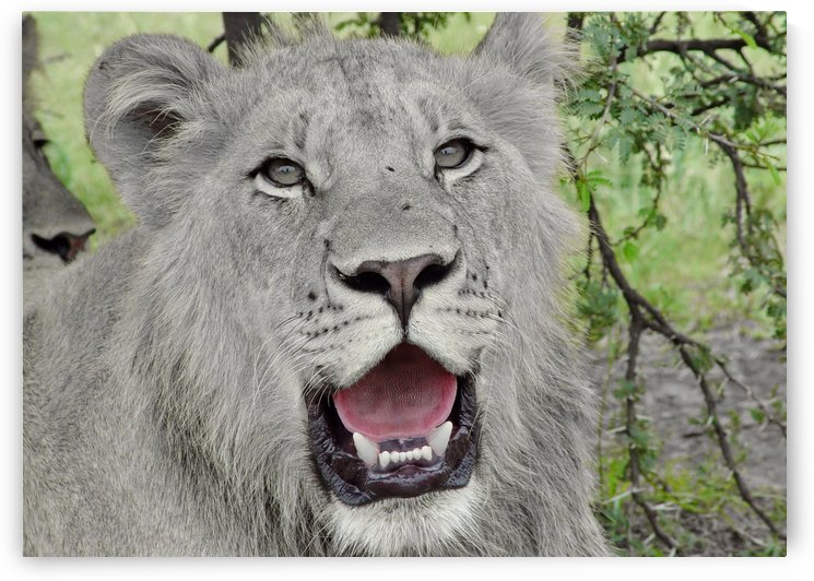 Young Lion Male 462 ck by Thula-Photography