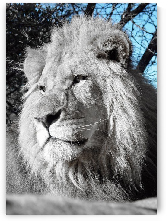 Lion Male 2530 ck by Thula-Photography