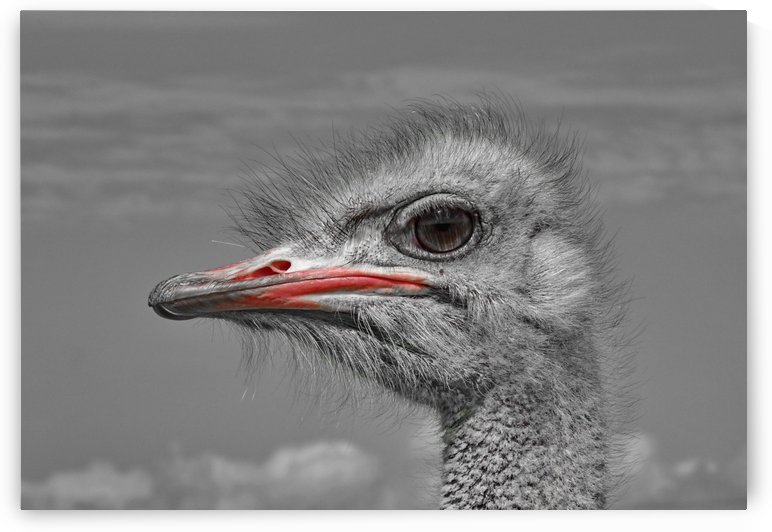 Ostrich Male Portrait 1100794 ck by Thula-Photography