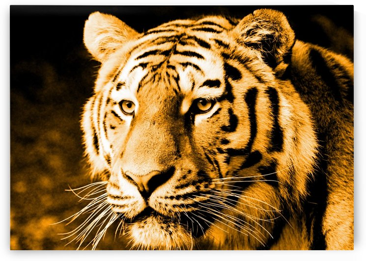 Tiger pop gold by Thula-Photography