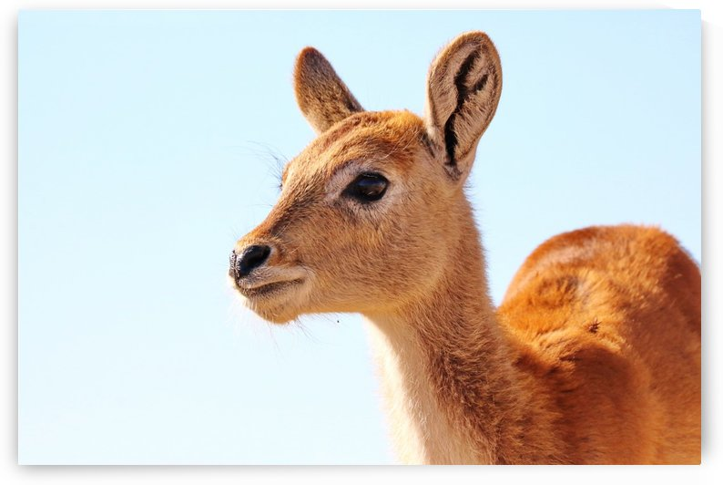 Baby Lechwe 1588 by Thula-Photography