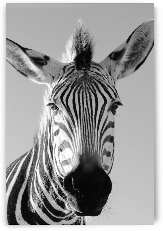 Funny Zebra 4928 b+w by Thula-Photography