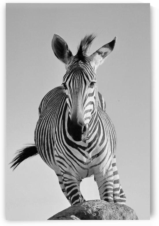 Mountain Zebra Portrait 8518 b+w by Thula-Photography