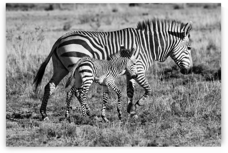 Zebra Mother with Baby 6885b+w by Thula-Photography