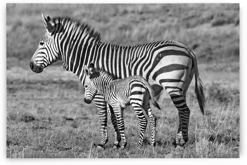 Zebra Mother with Baby 6848 b+w by Thula-Photography