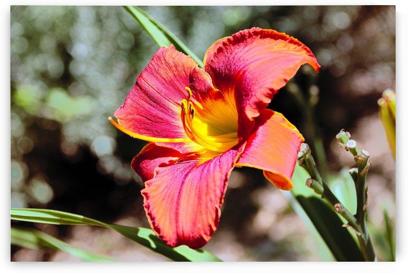 Red Lily by Luigi Girola