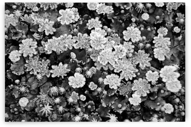 Liverwort Black And White by Deb Oppermann