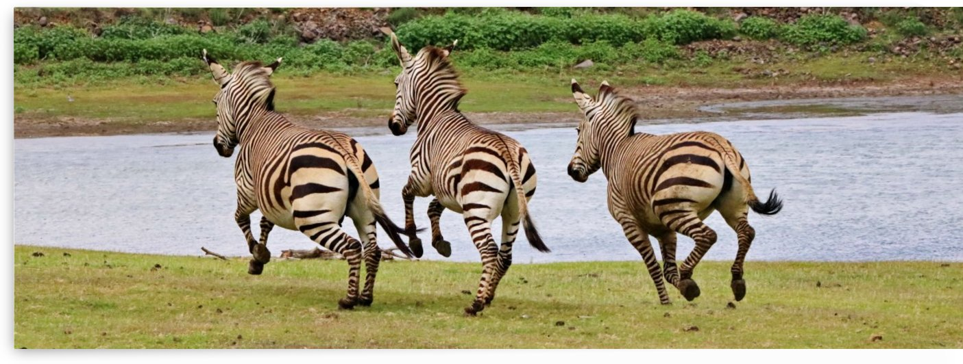 Mountain Zebras in Action Pano 8627 by Thula-Photography