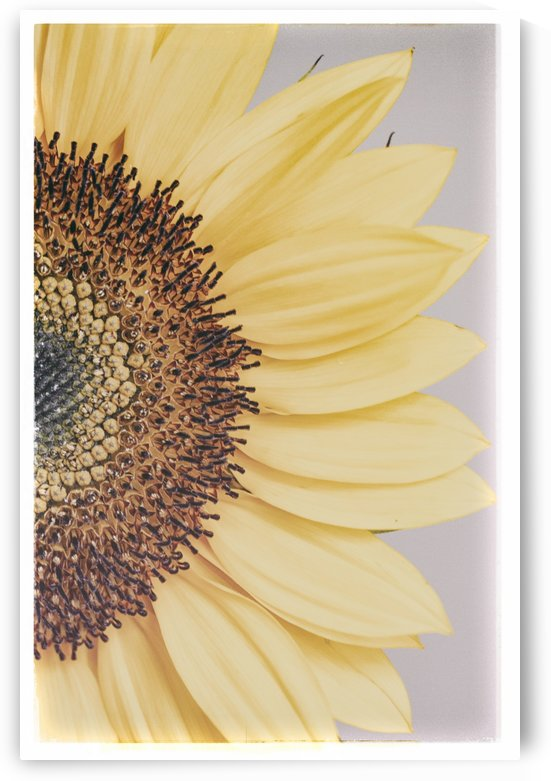 Sunflower  by Alexis Arnold