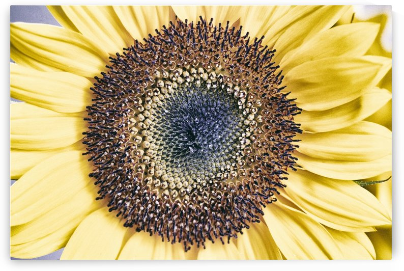 Sunflower Close Up by Alexis Arnold