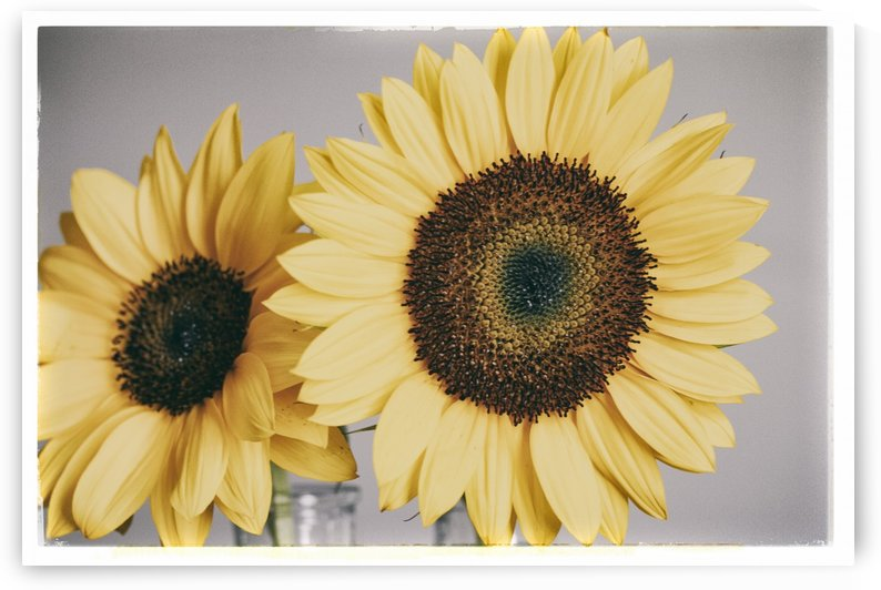 Sunflowers by Alexis Arnold