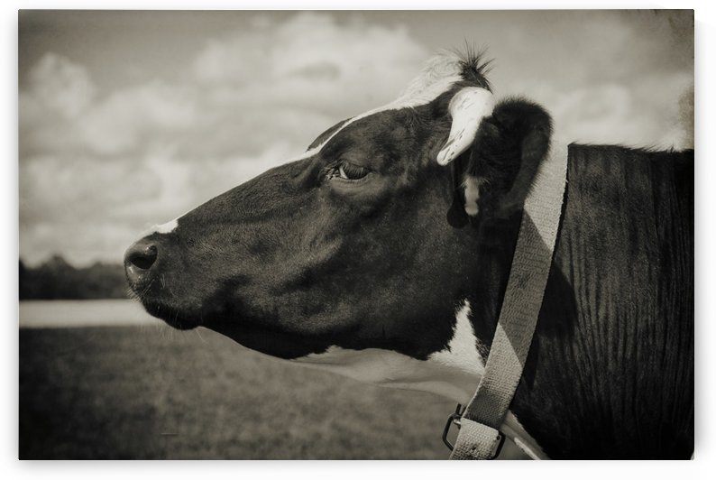 Portrait of a Cow by Alexis Arnold