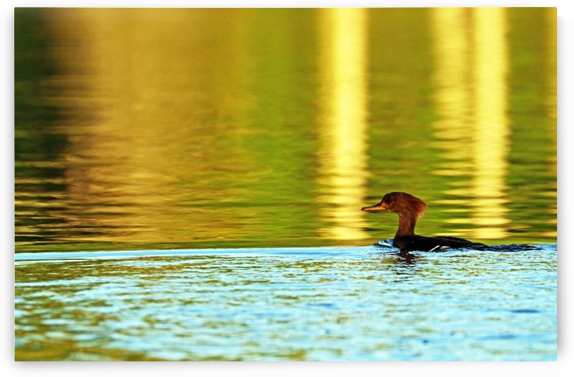 Merganser In Setting Sun by Deb Oppermann