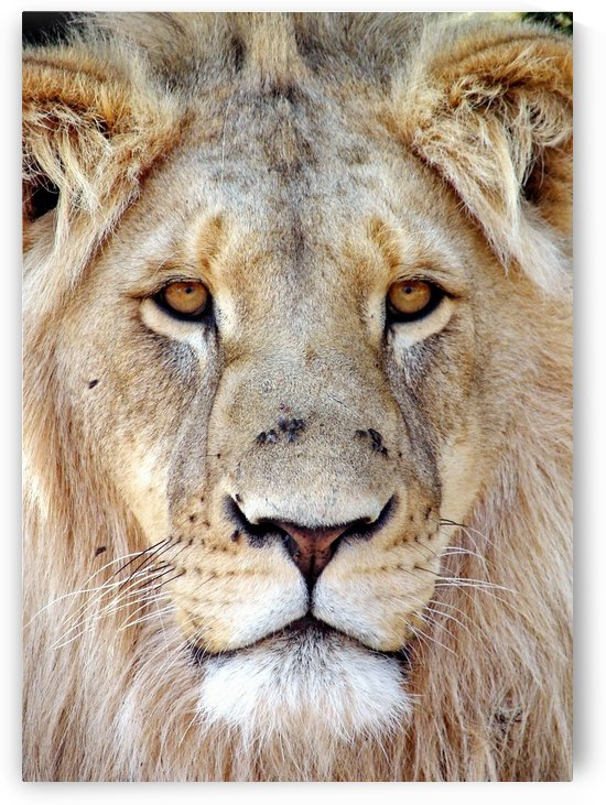 Lion Face 3789 by Thula-Photography