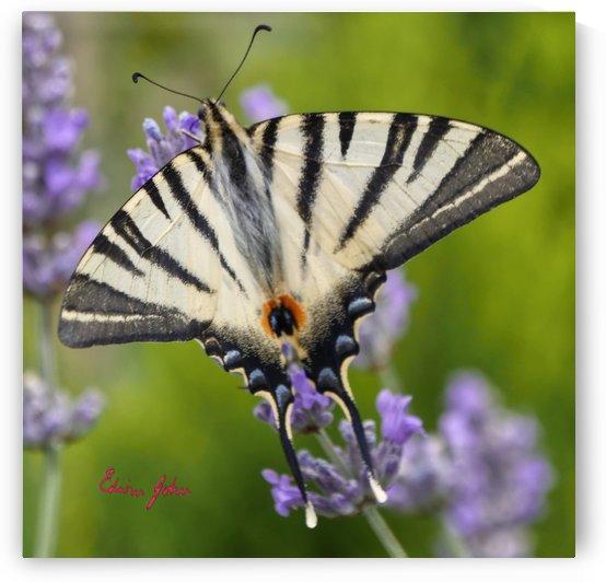Scarce Swallowtail Butterfly Iphiclides podalirius by Edwin John