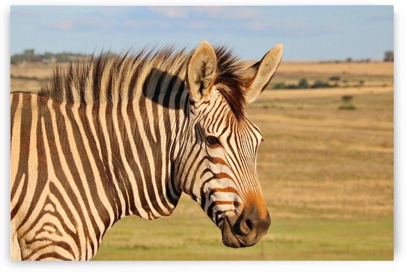 Mountain Zebra_8379 by Thula-Photography