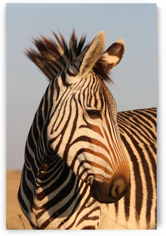 Mountain Zebra 4722 by Thula-Photography
