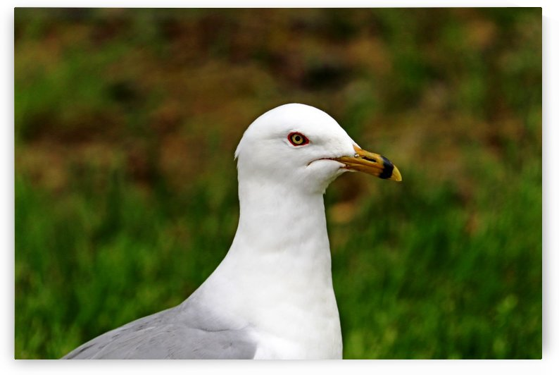 Ring Billed Gull Profile by Deb Oppermann