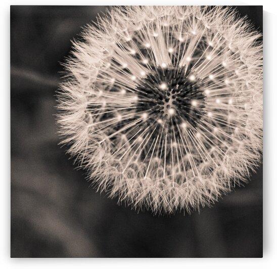 Late Season Dandelion 1 by Dave Therrien