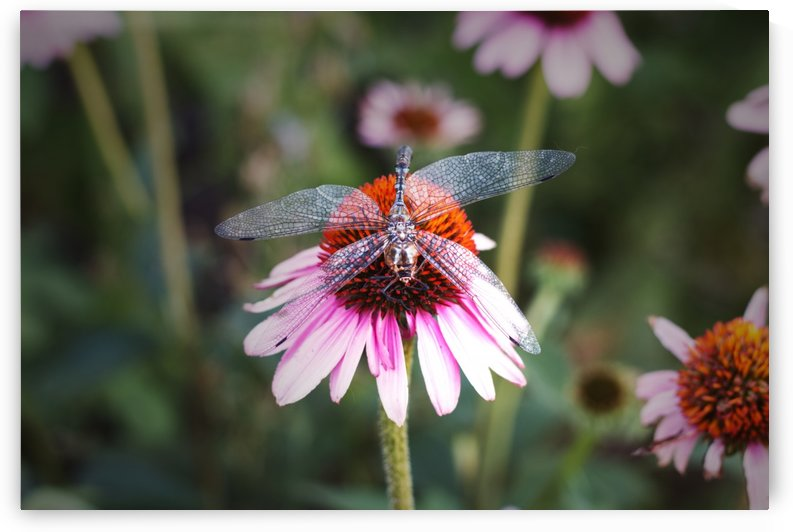 Dragonfly on a Coneflower utah United States by Kathryn Stone