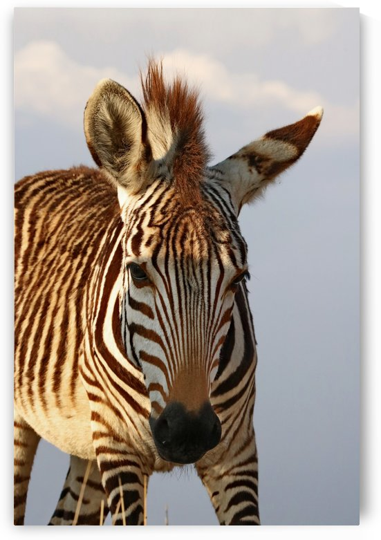 Hartmanns Zebra 3901color by Thula-Photography