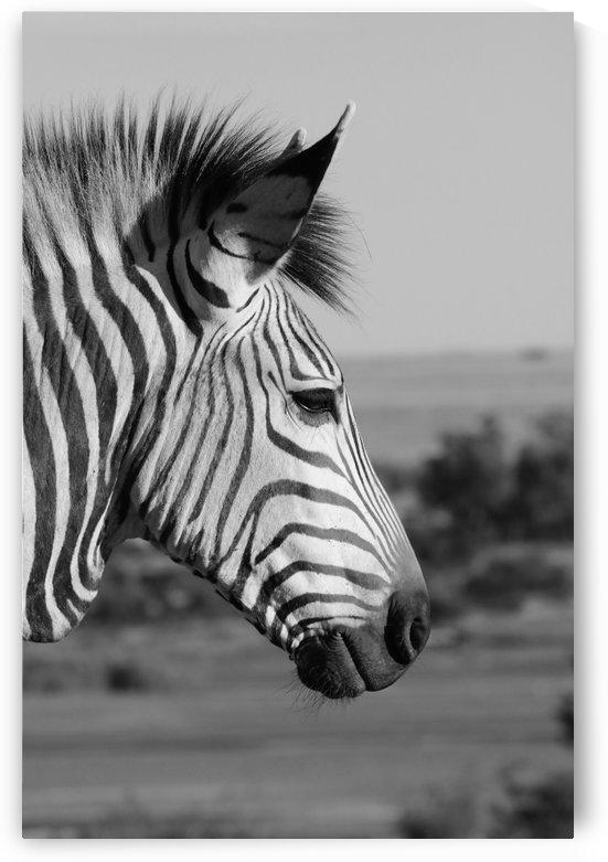 Zebra Portrait 8387 b+w by Thula-Photography