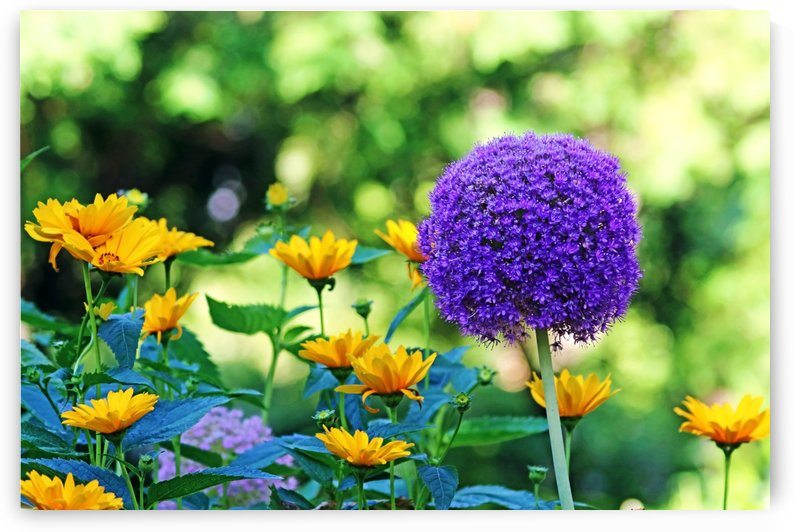 Allium And Wild Sunflowers by Deb Oppermann