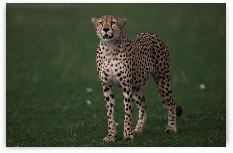 Cheetah Portrait by Gurdyal Singh