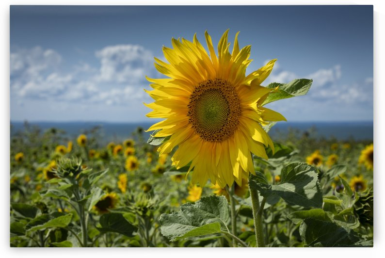 Sunflowers on the Gower peninsula by Leighton Collins