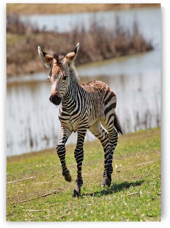 Zebra Baby 7345 by Thula-Photography