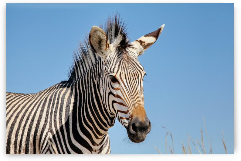 Zebra 5091 by Thula-Photography