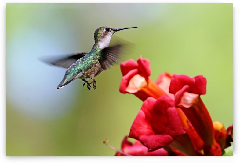 Hummingbird And The Trumpets by Deb Oppermann