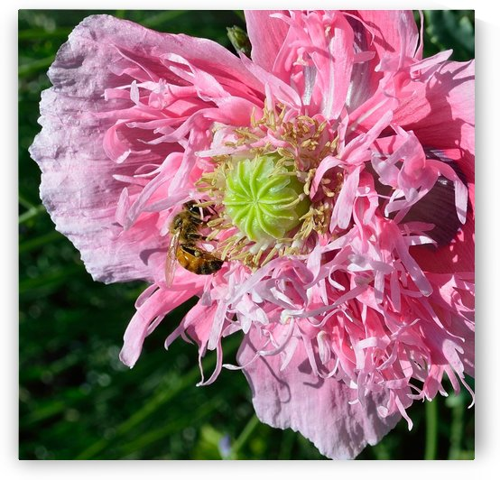 Poppy Peony with Bee by Michelle K Wood