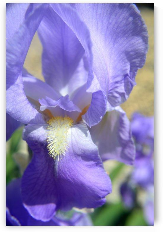 Light Purple Bearded Iris by Michelle K Wood