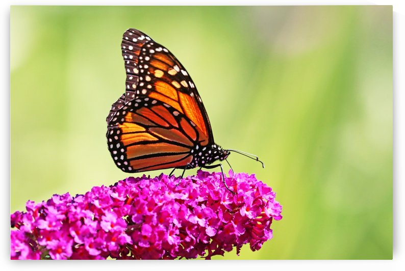 Monarch On Magenta Buddleia by Deb Oppermann