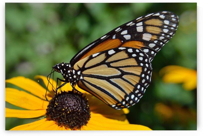 Monarch Butterfly by Michelle K Wood