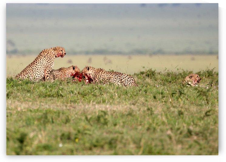 Cheetah Lunch by Eliot Scher